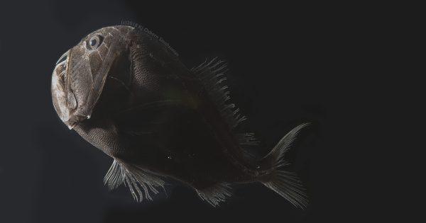 Descubren que algunos peces abisales pueden absorber el 99,5% de la luz