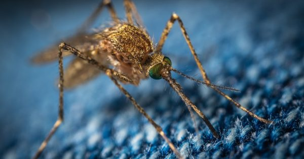 Por qué en Florida van a liberar 750 millones de mosquitos modificados genéticamente