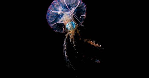 Científicos de Gran Canaria fotografían por primera vez medusas comiendo plásticos